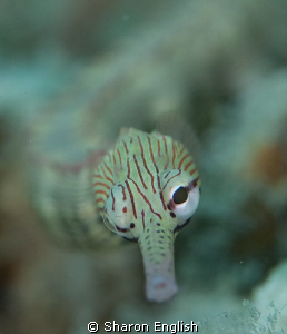 Pipefish Portrait. by Sharon English
